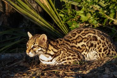 Ocelot resting in south Texas forest.