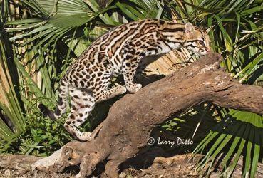 Ocelot (Felis pardalis) climbing log in palm forest near Rio Grande, s. Texas