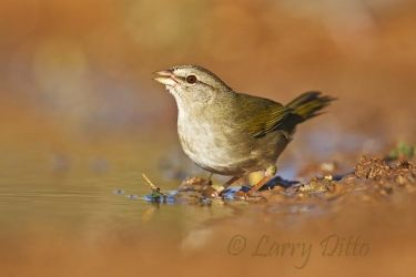 Olive Sparrow drinking at south Texas pond, winter