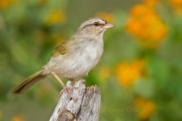Olive_Sparrow_Larry_Ditto_MG_5522