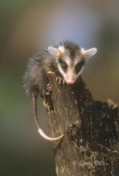 Virginia Opossum baby climbing log, s. Texas