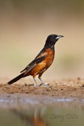 Orchard_Oriole_Larry_Ditto_MG_1713