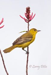 Orchard Oriole female on Coral Bean