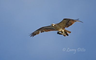 Osprey with trout, SPI