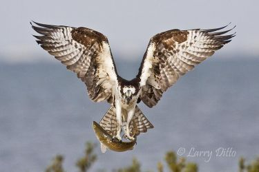 Osprey_Larry_Ditto_MG_1075
