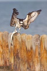Osprey_Larry_Ditto_MG_1088