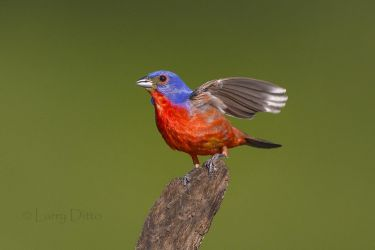 Painted Bunting male singing from mesquite stump perch