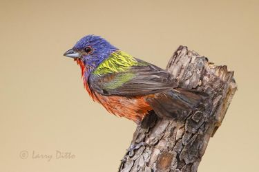 Painted Bunting just out of the bath