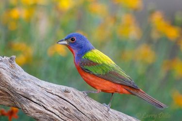 Painted_Bunting_IMG_1102