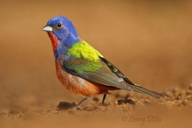 Painted Bunting (Passerina ciris) male at a pond, south Texas, USA