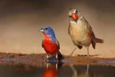 Painted_Bunting_Larry_Ditto_70K4047