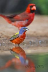 Painted_Bunting_Larry_Ditto_70K5657