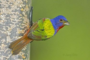 Painted Bunting at feeder
