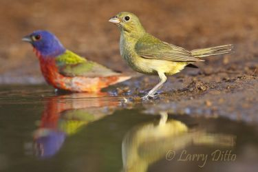 Painted_Bunting_Larry_Ditto_MG_1697