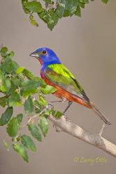male Painted Bunting in garnjeno bush, south Texas ranch, spring