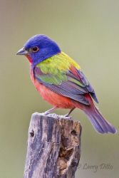 Painted Bunting (Passerina ciris) male perched on fence post