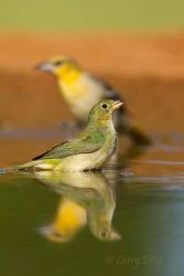 Painted_Bunting_Larry_Ditto_MG_5223