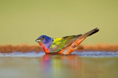 Painted_Bunting_Larry_Ditto_MG_6350