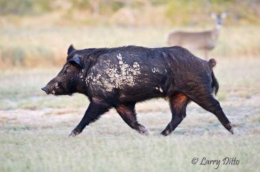 Feral Hog (Sus scrofa) male (boar) running wild in s. Texas, December