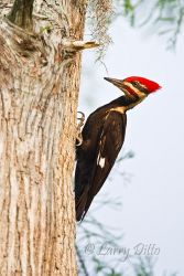 Pileated_Woodpecker_Larry_Ditto_70K0078
