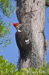 Pileated Woodpecker on cypress tree, Caddo Lake, Texas