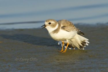 Piping Plover chasing another plover on the Laguna Madre shore, Texas