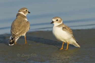 Piping_Plover_MG_2580