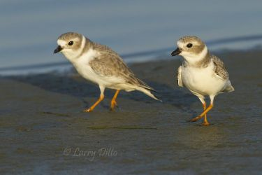 Piping Plovers on winter grounds, Texas coast