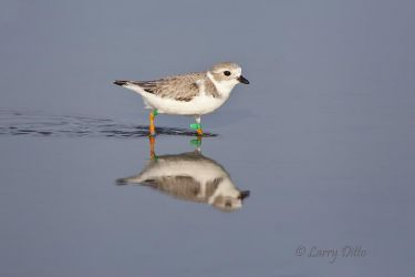 Piping_Plover_MG_2959