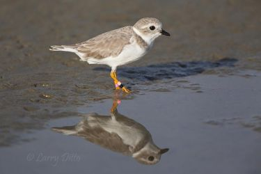 Piping_Plover_MG_3211