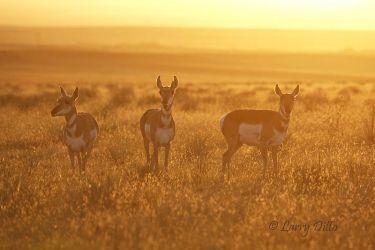 Pronghorn does feeding at sunrise