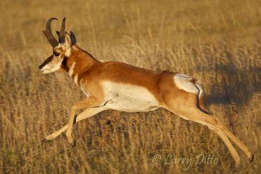 Pronghorn buck at 40 MPH