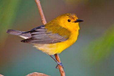 Prothonotary_Warbler_Larry_Ditto_70K0273