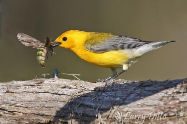 Prothonotary_Warbler_Larry_Ditto_70K9758~0