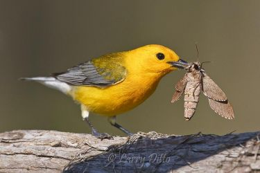 Prothonotary_Warbler_Larry_Ditto_70K9770