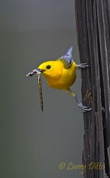 Prothonotary Warbler with dragonfly for young, Caddo Lake, Texas