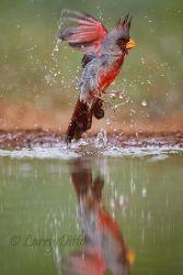 Pyrrhuloxia (Cardinalis sinuatus) male bathing, s. Texas, April