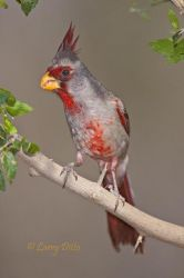 Pyrrhuloxia male in thornbrush, south Texas ranch, spring