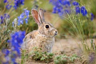 Rabbit,_Desert_Cottontail_70K3488