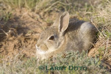 Rabbit,_Eastern_Cottontail