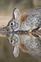 Rabbit, Eastern Cottontail drinking at ranch pond.