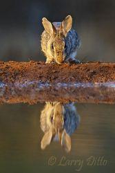 Rabbit,_Eastern_Cottontail_70K3118