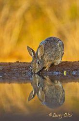 Rabbit,_Eastern_Cottontail_70K3306~0