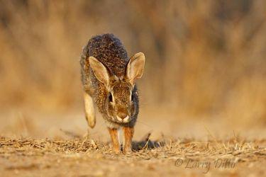 Rabbit,_Eastern_Cottontail_70K6062