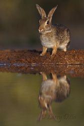Rabbit,_Eastern_Cottontail_70K6588