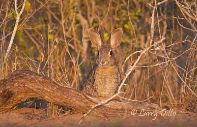 Rabbit,_Eastern_Cottontail_MG_0085