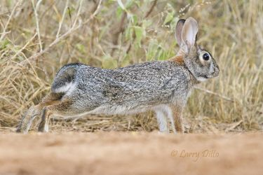 Rabbit, Eastern Cottontail stretching