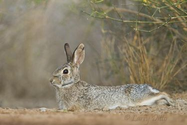 Rabbit,_Eastern_Cottontail_MG_5066