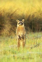 Raccoon (Procyon lotor) standing by marsh at sunrise, alert for danger
