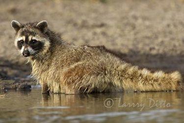 Raccoon_Larry_Ditto_0540